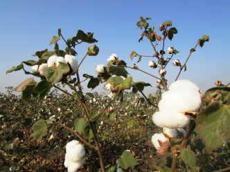 Reife Baumwollpflanze auf Baumwollfeld